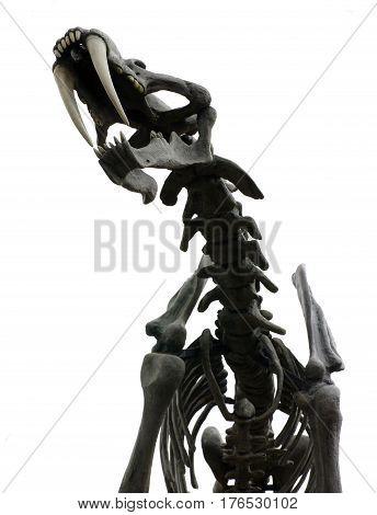 saber toothed tiger skeleton of a prehistoric animal