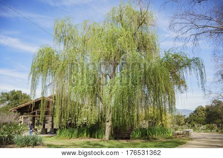 Beautiful Big Willow Tree At Descanso Garden