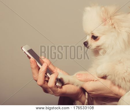 Cute pomeranian dog or puppy pet with fawn coat using smartphone mobile phone in cute faux fur cover in female hands on beige background