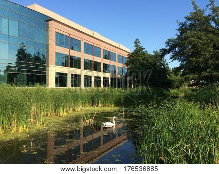 Lone swan swimming wadding peacefully in a prairie mixed space modern day office park in Hoffman Estates, Illinois.