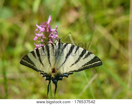 Butterfly sitting on a flower and collects nectar