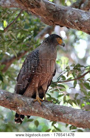 Crested serpent eagle Spilornis cheela spilogaster. Eagle sitting on the branch national park Wilpattu Sri Lanka