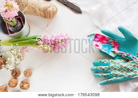 Gardening concept. Still life of seedling hyacinth garden tools scissors twine tubers-bulbs gladiolus with copy space. Top view. Spring background.