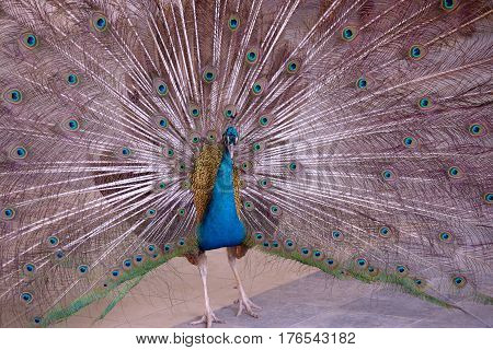 The indian Blue Peafowl with open tail