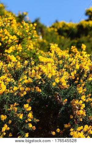 Common gorse (Ulex europaeus) also known as Furze or Whin a thorny evergreen shrub with brilliant yellow flowers that bloom in the spring it is a member of the sub family Faboideae of the legume family Fabaceae