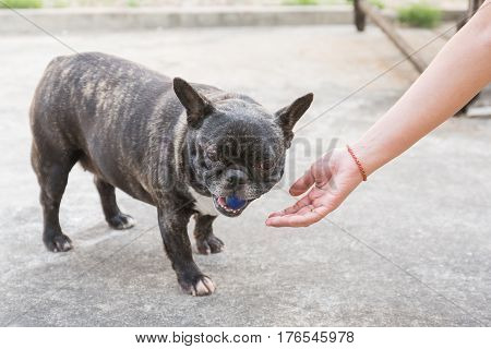 Female Hand Patting France Bulldog Head..human Hand Patting Cute Dog Head.