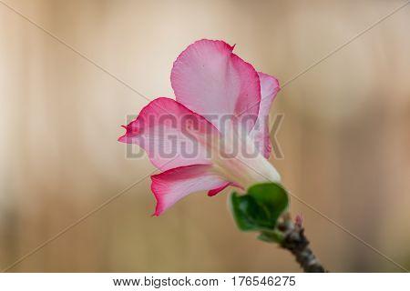 beautiful azalea flowers in the garden. .