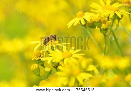 Honey bee collecting nectar from yellow flowers in the spring time. Bee pollinating yellow wild flowers