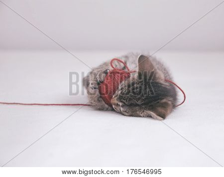 Tabby kitten plays with tangle of red thread