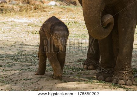 photo of a playful young Asian Elephant with Mum by it's side