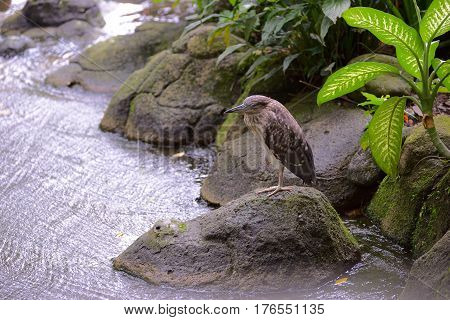 Striated heron standing on one leg on a rocky river bank