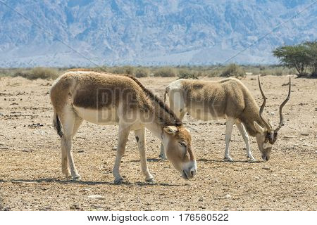 Asian wild donkey Onager (Equus hemionus) and curved horned antelope Addax (Addax nasomaculatus) in nature reserve near Eilat, Israel