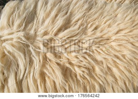 A Close up of White wool (Sheep) texture