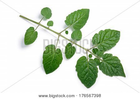 Tomato Compound Leaf, Paths, Top View