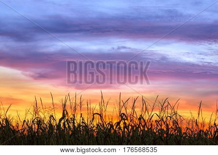 An amazing dramatic colorful sunset sky silhouettes cornstalks in an Indiana cornfield near harvest time.