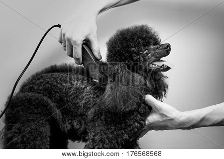Haircut of the torso of a beautiful black poodle