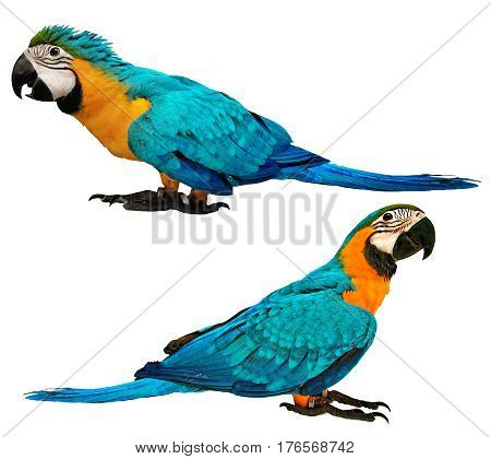 Male Blue And Yellow Macaw Parrot With Age 4 And  3 Months