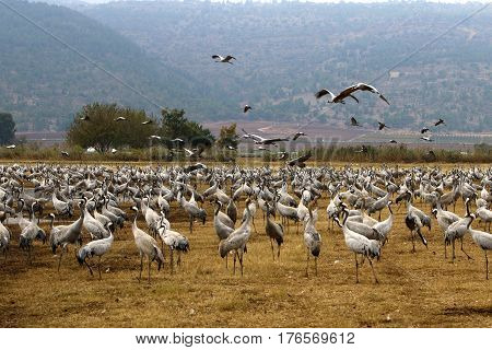 A huge flock of migratory birds rests before a flight in the swamp