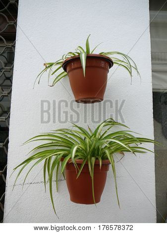 Two Spider Plants