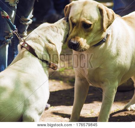 Labradors at the exhibition are kissing. Dogs at the exhibition.