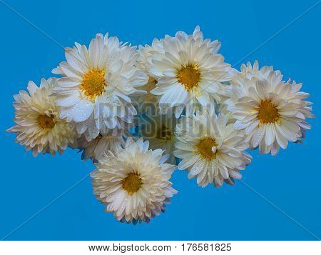 Beautiful chrysanthemum as background picture. Chrysanthemum wallpaper chrysanthemums in autumn.