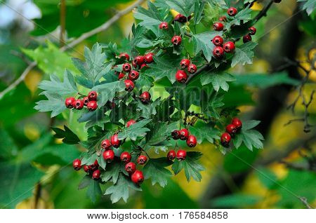 Hawthorn branch with fruits and leaves close up