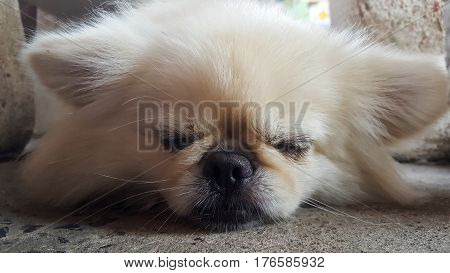Cute Pekingese Dog relaxing on the floor, feel sleeping and look at camera