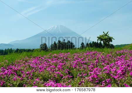 Mount fuji and pink moss in may at japan selective focus blur foreground