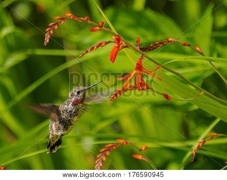 Anna Hummingbird feeding from red crocosmia flowers