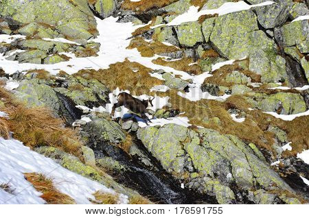 Mountain chamois jumps over the rocks .