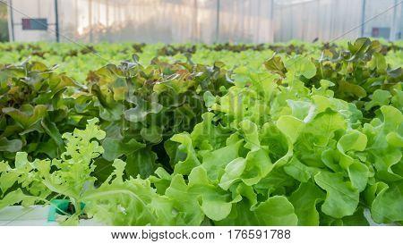 Green Oak Lettuce