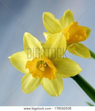 Wild Yellow Daffodils closeup on Blurred Blue background. Focus on Foreground