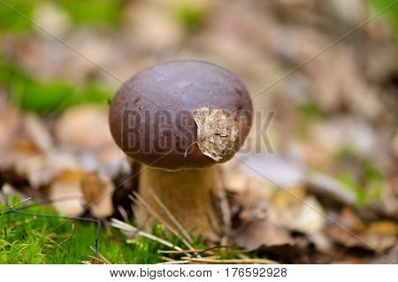 edible mushroom closeup in the forest closeup