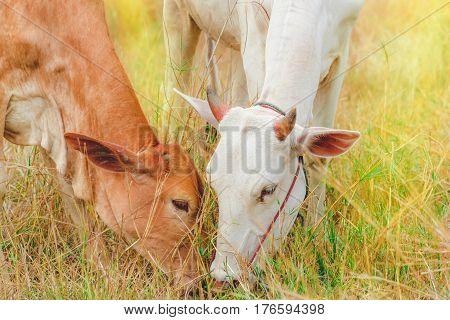 Cows is feeding grass. Cows is feeding grass in the field.