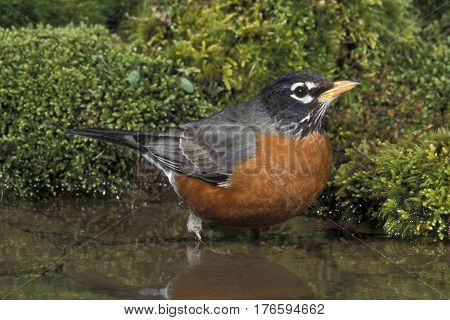 An American Robin, Turdus migratorius bathing in a shallow forest pond