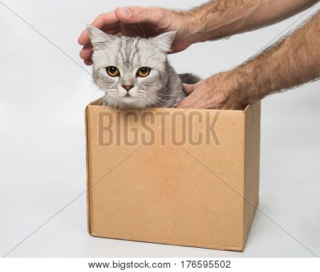 grey tabby cat in a box that I can get man hands