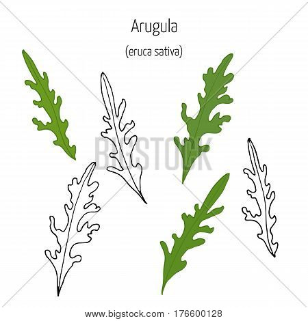 Hand drawn leaves of arugula at white background. Vector illustration