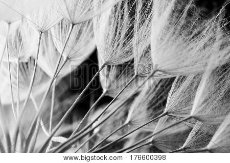 Abstract macro photo of dandelion seeds. Shallow focus.