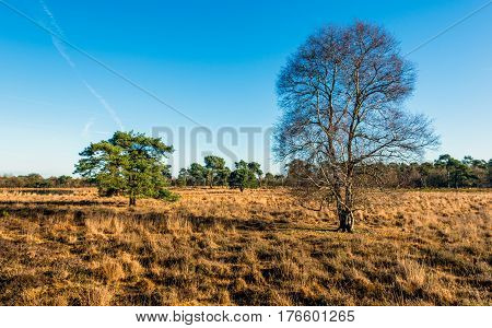 Bare birch tree in the foreground of a nature reserve with yellowed grasses in the fall season. In the background are some evergreen scots pine trees.