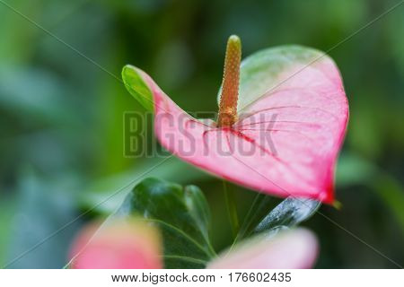 Anthurium andraeanum (Araceae family). Natural background with bright red flower.