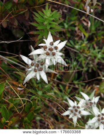 Himalayan edelweiss growing in the Everest National Park Nepal.