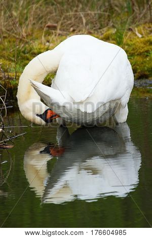 photo of an adult Mute swan preening it's feathers with it's reflection in the water