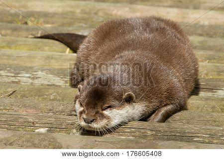 photo of a sleeping otter in the sunshine