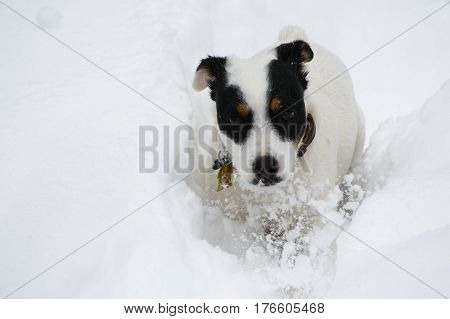 Determined Jack Russel Terrier Dog running through deep snow after heavy snowfall winter animal portrait background image with white room for copy closeup detail movement in snow  image