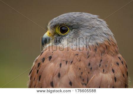 photo portrait of an alert looking Kestrel