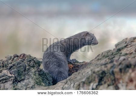 beautiful fluffy black mink searching for food on the river poster