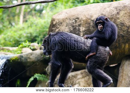 Young chimpanzee sitting on mother's back in Zoo