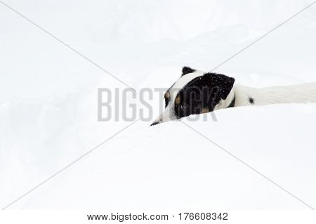 Cute funny dog portrait of Jack Russell Terrier walking through very deep snow after a snowstorm with room for copy space or funny message to write social sharing image photography