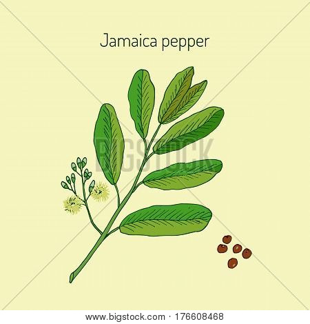 Allspice, or Jamaica Pepper, or English pepper, or Myrtle Pepper, or Pimenta, or Newspice, or Pimenta dioica. Vector illustration