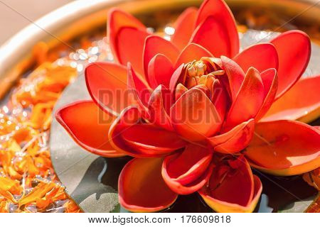 Beautiful red color Nelumbo flower known as Lotus. Sacred plant in Hinduism and Buddhism